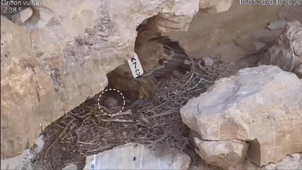 西域兀鷲撞電線慘死 機密以軍無人機「代母職」空投食物餵雛鷲