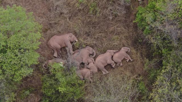 雲南象群遷移途中集體「躺平」 被無人機拍下酣睡萌樣