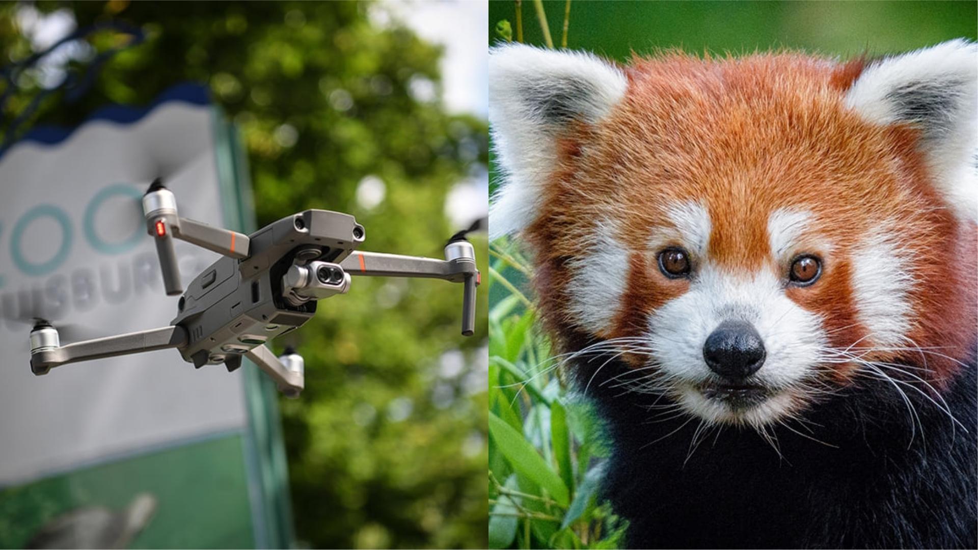 任性小熊貓「離家出走」 德國動物園出動無人機始成功尋「貓」
