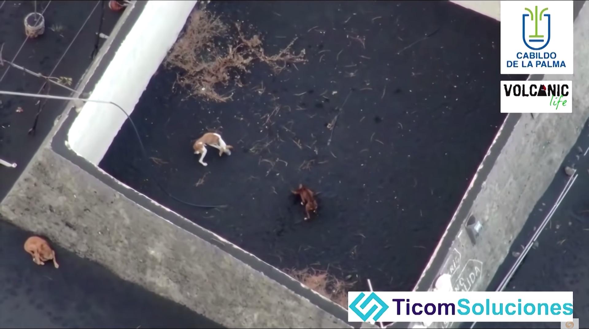 4 汪星人被困火山爆發災區 民間發起無人機「絕地救狗」行動